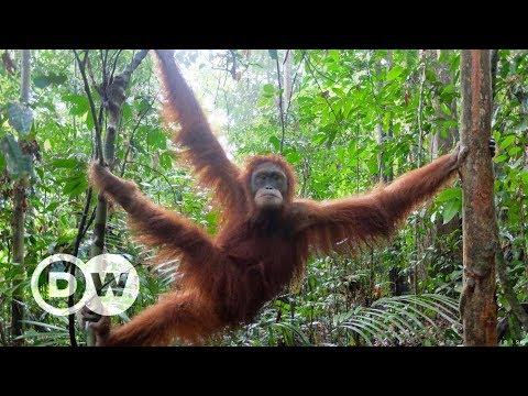 Orang-Utan Schulen auf Sumatra - Aus dem Käfig in den Dschungel | DW Deutsch