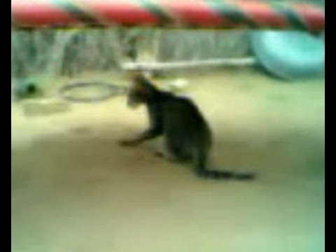 amazing cat dance funny video really comedy