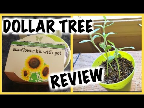 Dollar Tree Sunflower Seed Kits; Do They Grow?