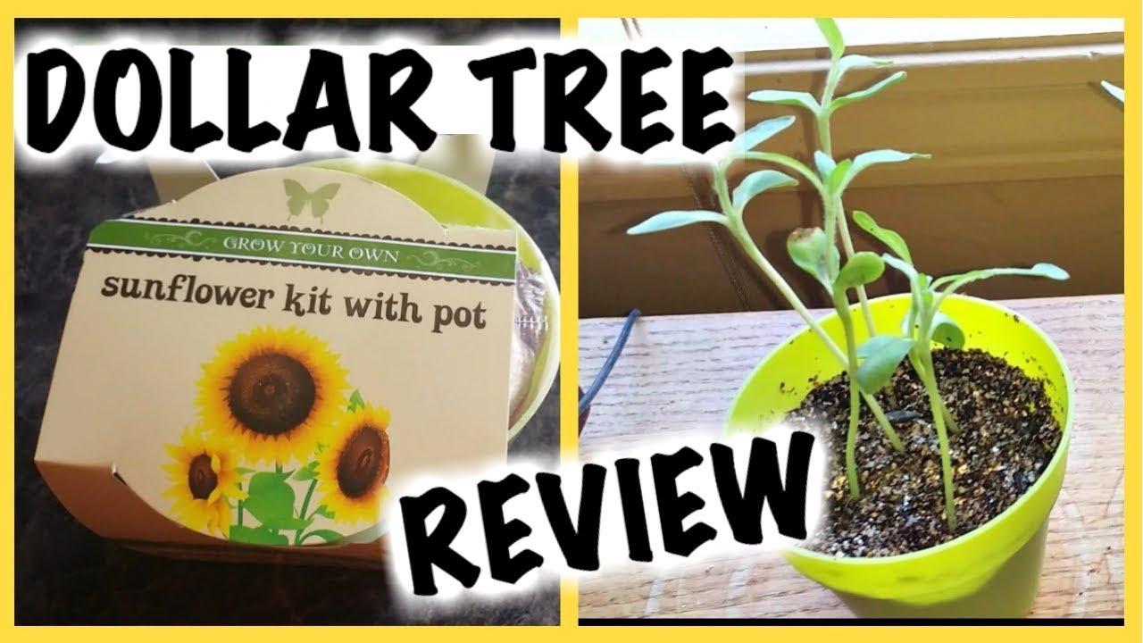 Dollar Tree Sunflower Seed Kits Do They Grow Youtube