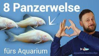 8 tolle Panzerwelse / Corydoras fürs Aquarium