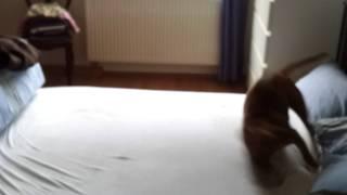 Bullterrier Huckle Butt - Oskar Hüpft Auf Dem Bett Herum