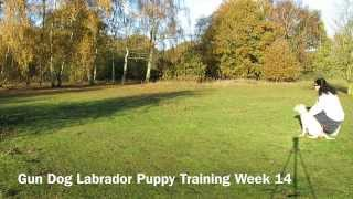 Gun Dog Labrador Puppy Training Week 14