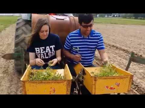 Transplanting Tomatoes at OARDC