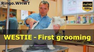 First Grooming West Highland White Terrier / Pierwsze Trymowanie