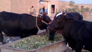 16 Adeel Ahmed dairy farm@depalpur,pakistan