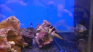 цены на аквариумных рыбок, Иглобрюх острорылый валентини, Canthigaster valentini