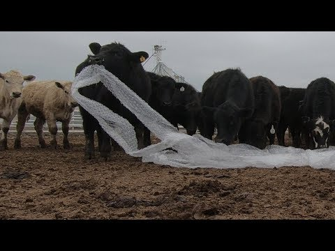 Cows playing with bubble wrap
