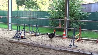 Jumping Grids - Agility Dogs. Docked And Undocked Aussies