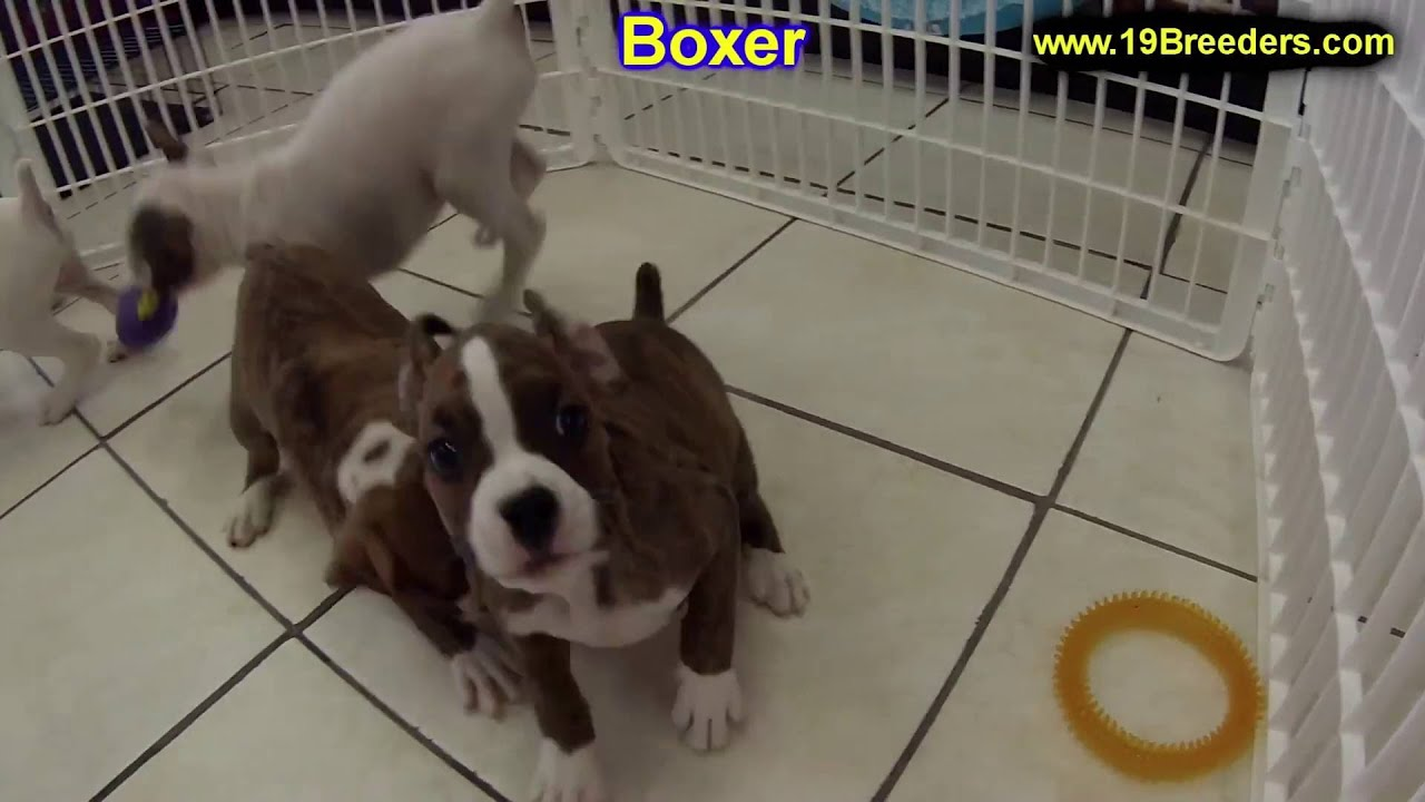 Boxer, Puppies, Dogs, For Sale, In Nashville, Tennessee ...