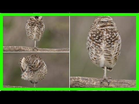 News 24/7 - Angry birds! burrowing owl struggle for sleep