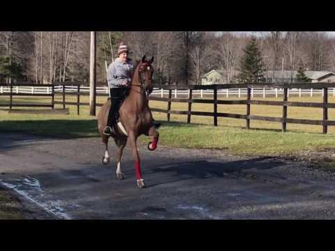 Saddlebreds for sale