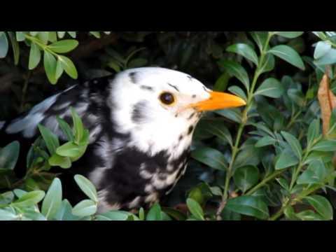 Kos cerny s leucismem2 Turdus merula Blackbird with leucism Adolf Goebel
