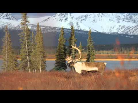 Moose, Caribou And Grizzly Hunt Part 2