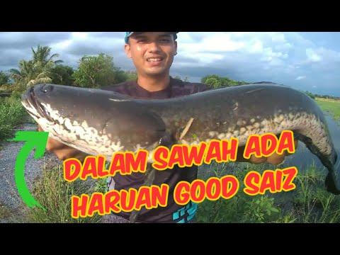 Casting Haruan Dalam Sawah Padi | Di Waktu Petang Hari || Bulan Puasa.