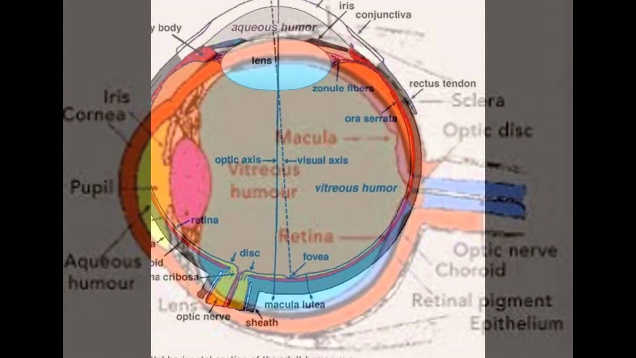 Anatomy And Physiology Of Eye - YouTube