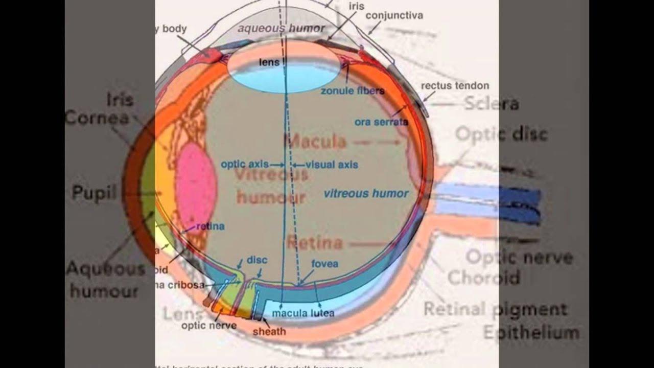 Anatomy And Physiology Of Eye - YouTube