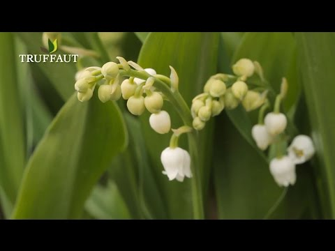 comment planter du muguet jardinerie truffaut tv youtube. Black Bedroom Furniture Sets. Home Design Ideas