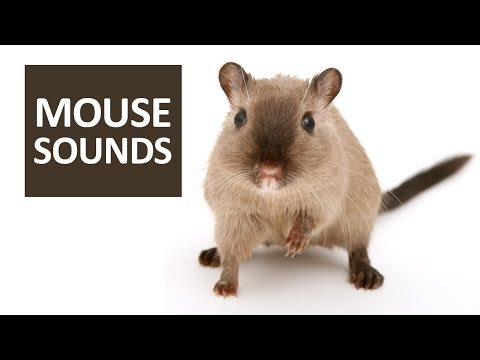 mouse sounds for cats 5 mice squeaking sound effect hd youtube. Black Bedroom Furniture Sets. Home Design Ideas