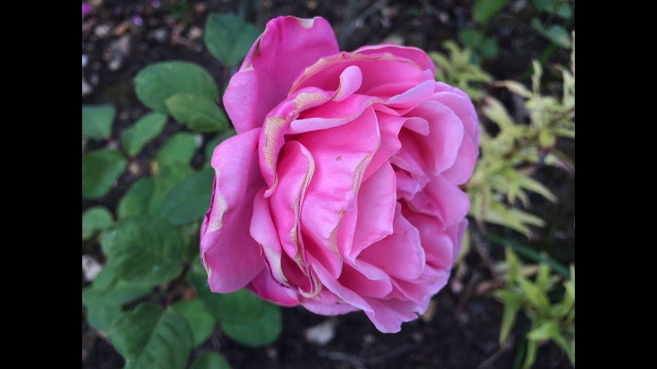 Hellebore Rose De Noel Entretien rose 'line renaud ®' 'meiclusif' la rose enchantée - youtube