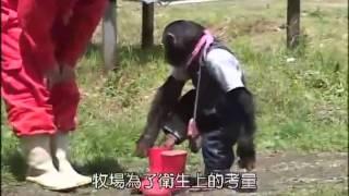 Video | Đười Ươi và chó 1 ngày làm việc ở trang trại bò Phần 1 Tại nhật bản | Duoi Uoi va cho 1 ngay lam viec o trang trai bo Phan 1 Tai nhat ban