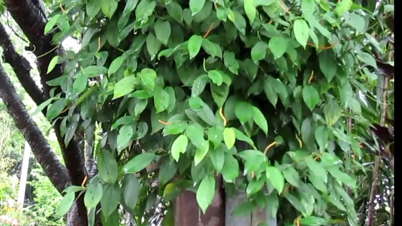 介紹常見植物及民間常用青草藥爬巖香 別名:風藤,佔有92%的水份,棚欄,海風藤。 - YouTube