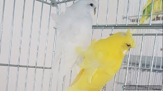 Muhabbet Kuşlarına İç Parazit Uygulaması ve Malzemelerin Dezenfekteni Hakkında Konuştuk