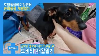 [강아지 재활] 디스크 수술 후 도비의 재활 일기 로얄…