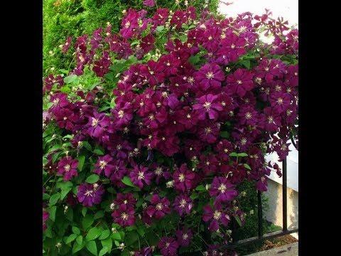 Клематисы. Какие сорта самые обильно цветущие? 2 условие обильного цветения.