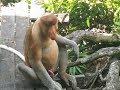 LABUK BAY PROBOSCIS MONKEY SANCTUARY - Borneo, Sabah, Malaysia