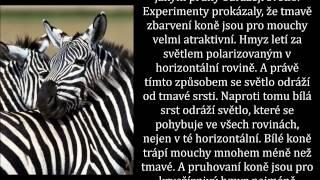 Proč má zebra pruhy
