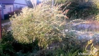 видео Ива хакуро нишики, посадка и уход