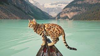 Жизнь этой бенгальской кошки интереснее чем у многих людей