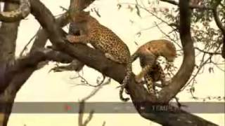 Leopards Mate in a Tree.mp4
