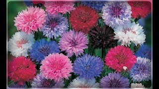 видео Василек в цветнике