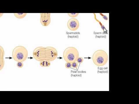 Making Egg Cells