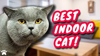 Should You Keep A British Shorthair Cat Indoors?