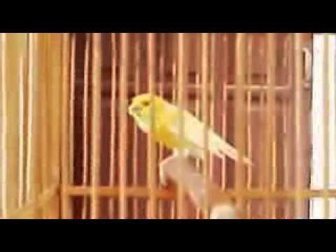 Download Lagu Kicau Mania | Burung Juara | Kenari Kuning Gacor Ngoceh