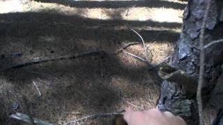 Training Treeing Walker Coon Hound Part 3