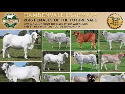 Hamdenvale Brahmans 2016 Females of The Future Sale