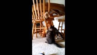 Cute Kitten Play
