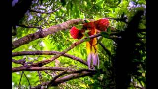 Download Video Bird of Paradise at Cenderawasih West Papua Indonesia 2014 on Panunee MP3 3GP MP4