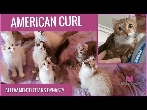 American curl: caratteristiche, prezzo e cura di questo gatto particolare