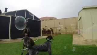 German Shorthaired Pointer Dogs Waffles And Cyrup, Bubbles And Lots Of Fun!