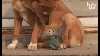 Dog And Bird's Painful Love Story (For The Bird) | Kritter Klub