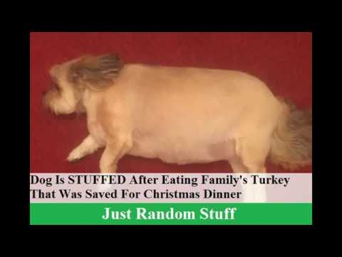 Dog Is STUFFED After Eating Family's Turkey That Was Saved For Christmas Dinner
