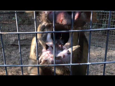 Wild Boar Hog Caught, Wants to Fight, Dies