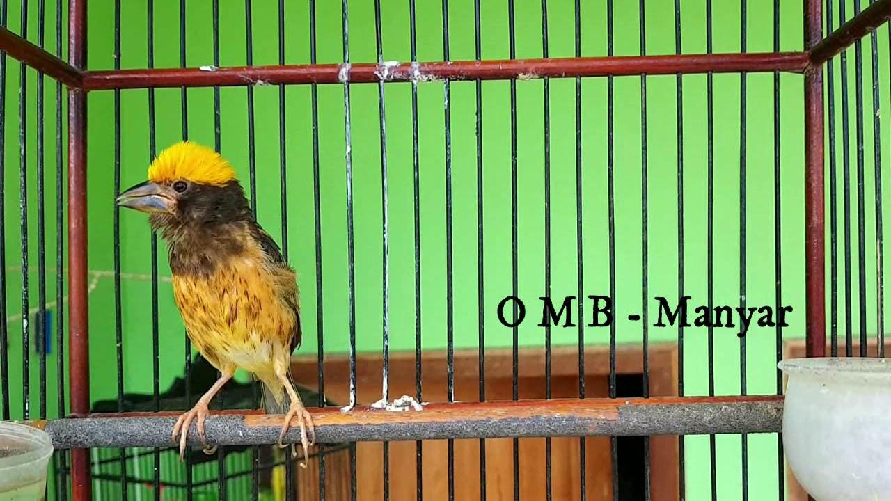 Burung Manyar Apapun Pasti Nyaut Gacor Dengan Suara Burung Manyar Ngalas Gacor Youtube