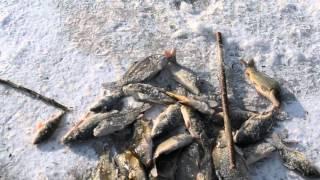 рыбалка на косынки 2016 карп на льду(рыбалка на косынки 2016 карп на льду., 2016-01-26T13:46:27.000Z)