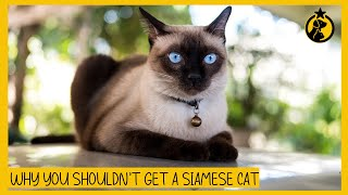 6 Reasons Why You Shouldn't Get a Siamese Cat